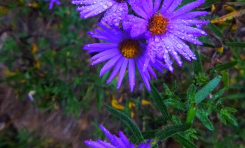 001-0000-Purple flowers with rain on OHT