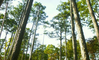 001-0000-Tall Pines on OHT