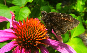 001-0819-Butterfly-Coneflower-Side